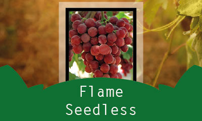 Flame Seedless